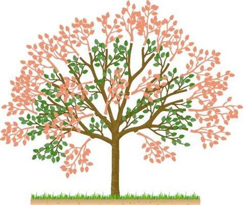wann pflanzen zurückschneiden kirschb 228 ume im sommer schneiden g 228 rten pflanzen und baum