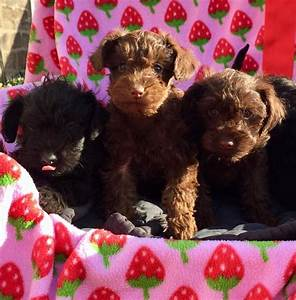 Miniature Pinscher X Toy Poodle Puppies For Sale Stoke
