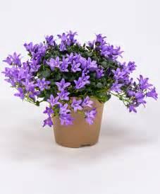 kitchen border ideas buy hardy perennials now addenda canula 39 ambella