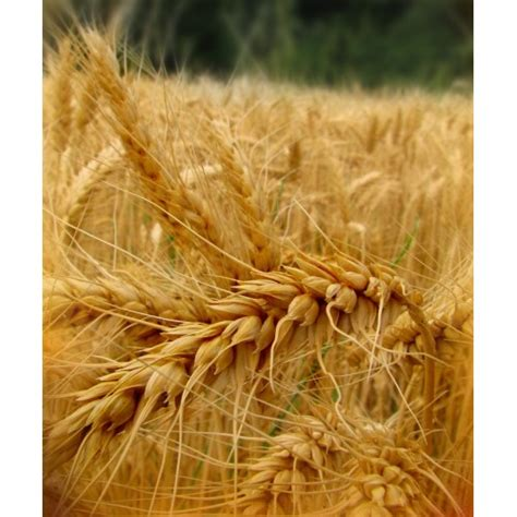 Nerafinēta kviešu asnu eļļa (Triticum Sativum)