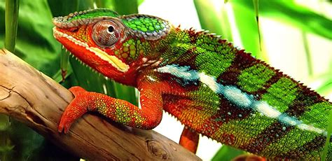 color change how do chameleons and other creatures change colour