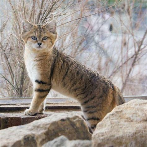 wild endangered cats animals cat sand