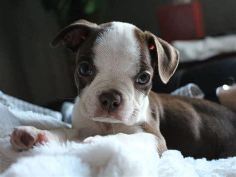 boston terrier hunderassenprofil mit bildern hundede