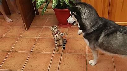 Husky Cat Gifs Play Dog Dogs Babu