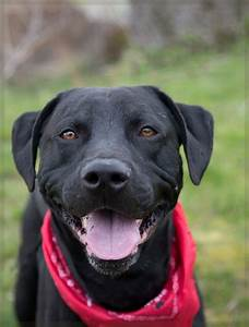 "Shelter Dogs of Portland: ""CHICO"" Black Lab/pitbull mix"