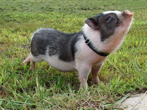 mini pot belly pig google image result for http www harvestworksinc org images animal profiles charlotte jpg