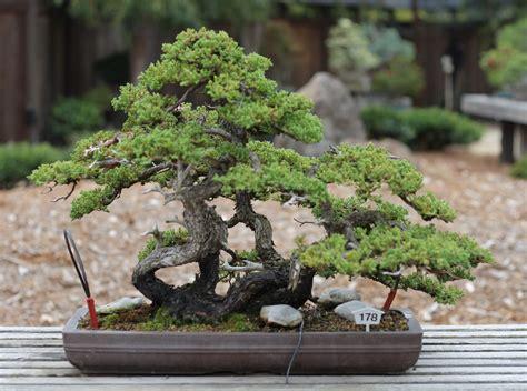 japanese garden bonsai file dwarf japanese garden juniper gsbf cn 178 september