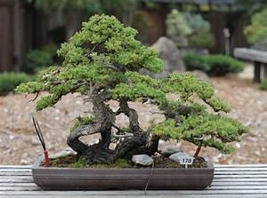 Bonsai Baum Garten : file dwarf japanese garden juniper gsbf cn 178 september ~ Lizthompson.info Haus und Dekorationen