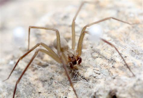 Arizona Brown Recluse Spider