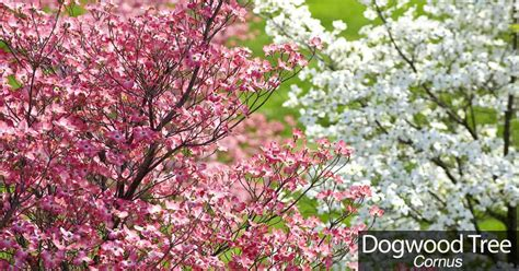 pink dogwood tree care pink flowering dogwood tree garden inspiration