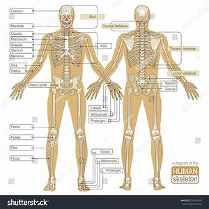 Diagram Human Skeleton Main Parts Skeletal Stock Vector