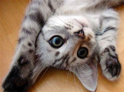 haut les pattes chat dr 244 le sur chat mignon