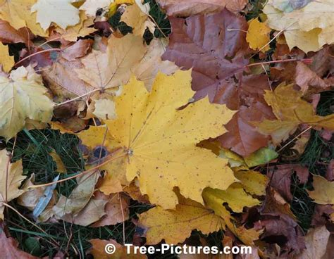 Autumn Sycamore Tree Leaves Picture