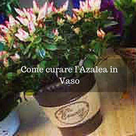 come curare le in vaso come curare l azalea in vaso idee fiorite