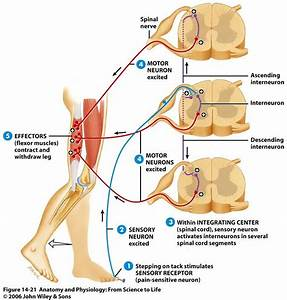 Extensor Plantar Response Related Keywords - Extensor ...