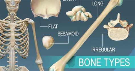 Overview Of 5 Bone Types, Long, Short, Flat, Irregular