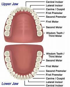 tooth anatomy education
