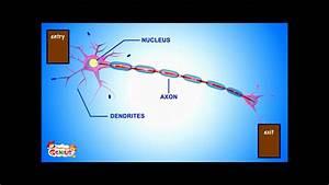 Of A Neuron