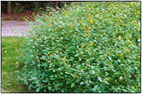 Jewelweed Images By The Roadside 13 Impatiens Capensis Photography