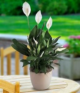 Pflegeleichte Zimmerpflanzen Mit Blüten : pflegeleichte zimmerpflanzen jeder raum verdient sch n auszusehen ~ Eleganceandgraceweddings.com Haus und Dekorationen