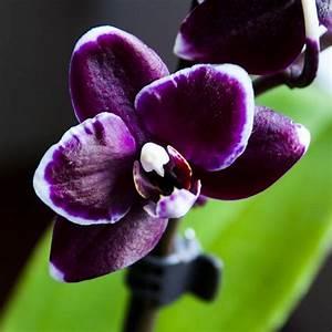 Dark purple orchid | Purple | Pinterest | Purple orchids ...