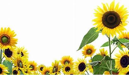 Sunflower Sunflowers Flowers Wallpapers Resolution Desktop Transparent