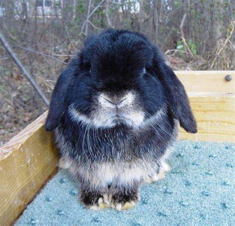 holland lop rabbits  savannah ga rabbits  sale