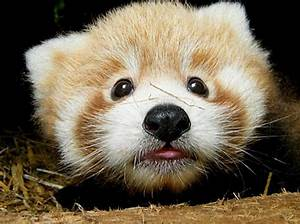 Cute Red Panda Babies [photos] | Furry Talk