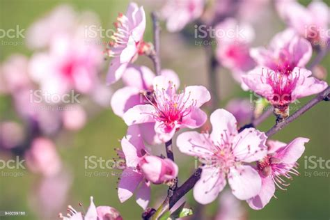 Close Up Of Pink Peach Blossom Flowers On Tree Branch