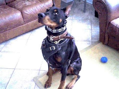 leather canine harness  doberman training walking  attack work   leather