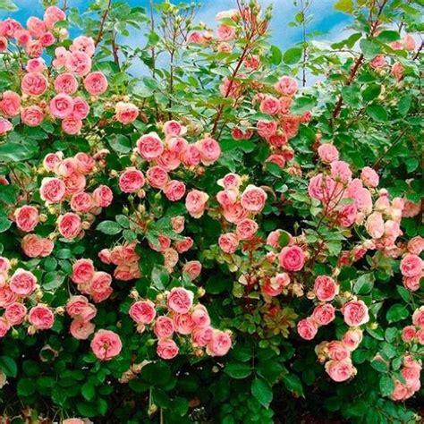 Kletterrose Mini Eden Rose Im 4 Liter Topf Online
