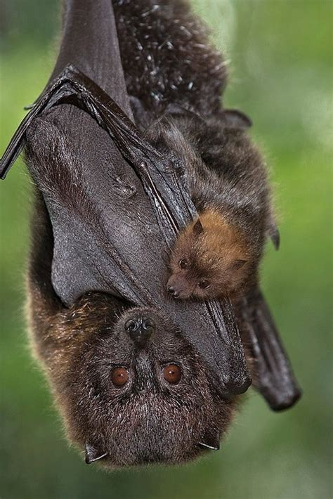 bats bat wings baby animal fruit babies zoo