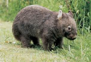 Image result for common wombat