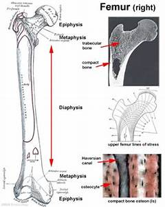 Anat2241 Bone  Bone Formation And Joints