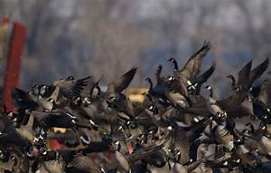 Lessons From A Master  U2013 Late Season Canada Goose Hunting