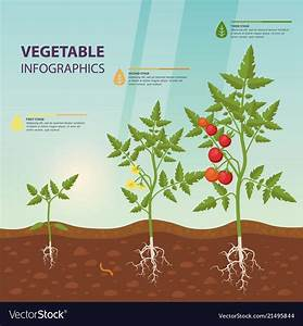 Tomato Infographic For Growing Stages Vector Image On