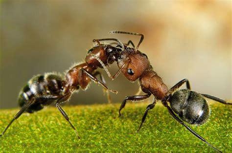 pictures  ants echomon