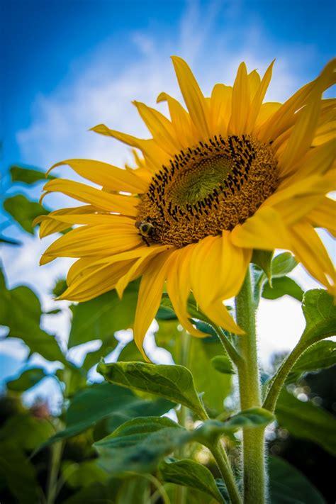 sunflower wallpapers  hd   hq unsplash