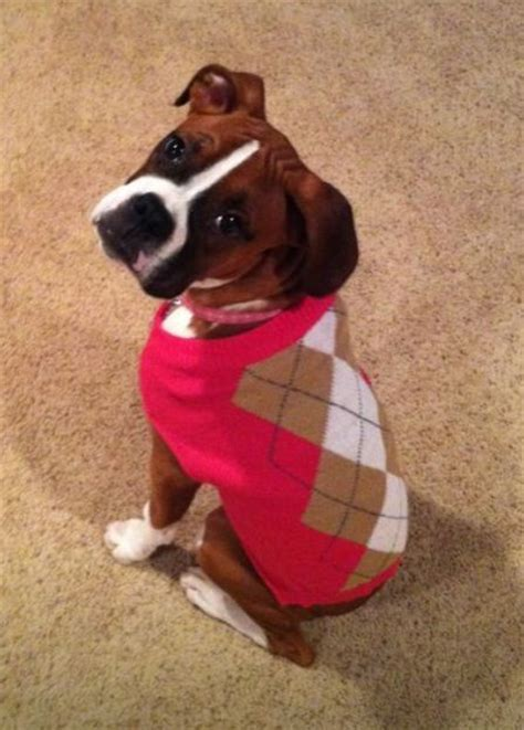 sweaters for boxer dogs boxer sweaters for dogs myideasbedroom com