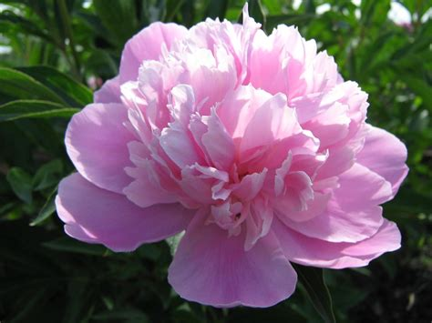 peony flower flowers peonies anniversary pink romantic older