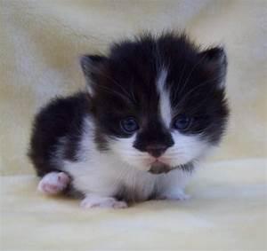 Munchkin kitten | Cat things | Pinterest | Munchkin kitten ...
