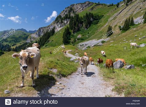 Direction Signs Alpine Hikes Alps Switzerland Stock Photo Cows On A Hiking Trail In The Swiss Alps Engstlenalp