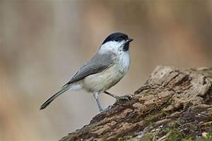 Kleine Vögel Im Garten : leicht verwechselbar meisen lbv ~ Lizthompson.info Haus und Dekorationen