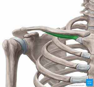 Subclavius Muscle  Anatomy  Innervation And Function