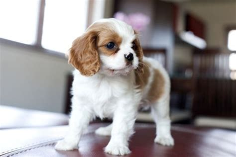 Small Dogs That Stay Small And Don T Shed by Breeds That Don T Bark Or Shed Animalgals Cuties