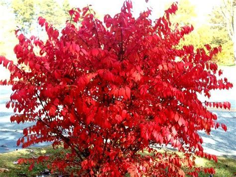 winged burning bush zone  full sun green foliage