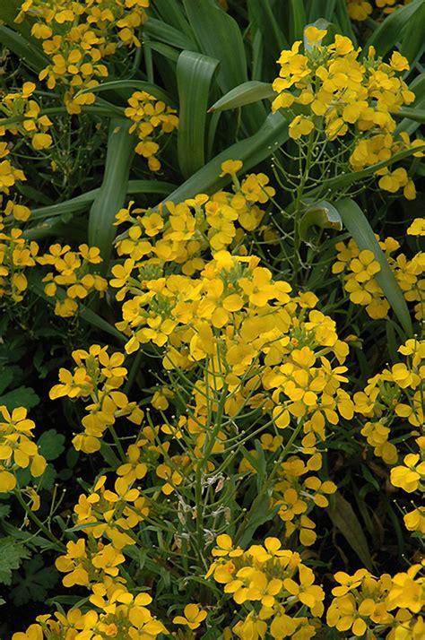 wallflower yellow erysimum plants flowers plant shelmerdine nc winnipeg