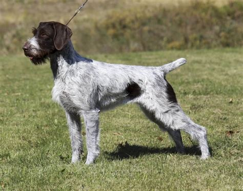 German Wirehaired Pointer All Big Dog Breeds