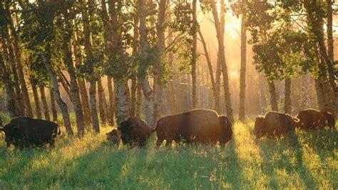 nature animals buffalo alberta canada national park