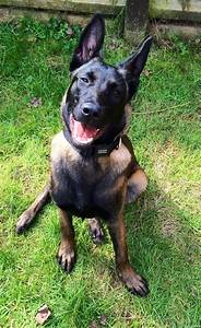 Beautiful 5 month old Female Belgian Malinois | Hereford ...